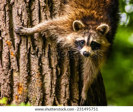 Mother Raccoon Watching her Babies - stock photo