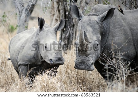 Mother Rhino is watchful and protects her youngster - stock photo