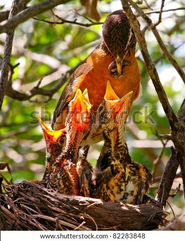 Mother Robin Feeding Worm To Babies In Nest - stock photo