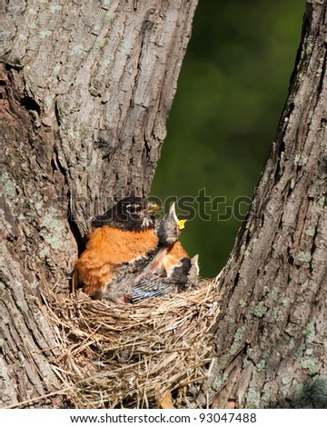 Mother robin tries to keep its babies warm and quiet as hunger pains begin to take over the flock. Eventually a hungry and frail baby robin peaks out from under its mothers belly screaming to be fed. - stock photo