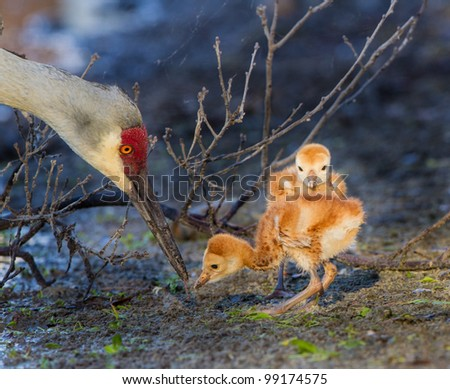 Mother sandhill crane feeds her days old young - stock photo