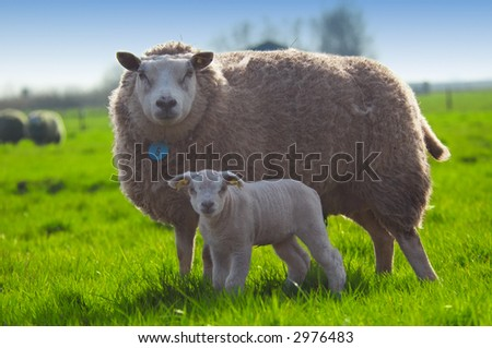 mother sheep and her cute little lamb in spring - stock photo