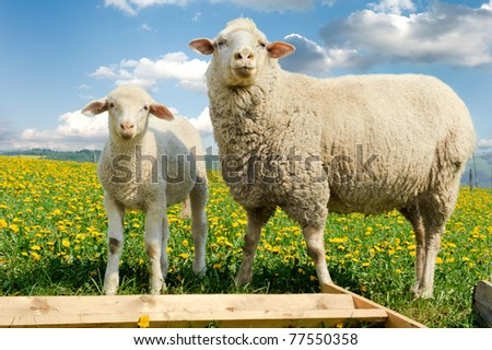 Mother sheep and her lamb in dandelion field - stock photo