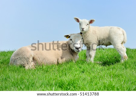 Mother sheep and her lamb in spring, Friesland The Netherlands - stock photo