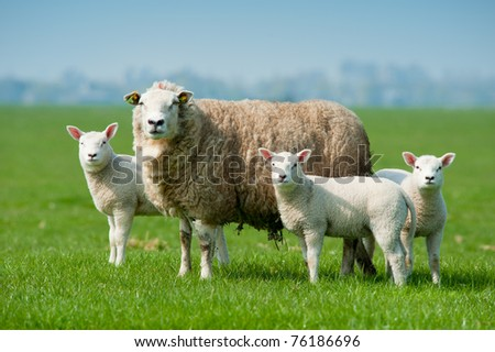 Mother sheep and her lambs in spring, The Netherlands - stock photo