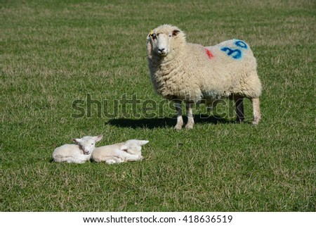 Mother sheep and her two lambs in a field - stock photo