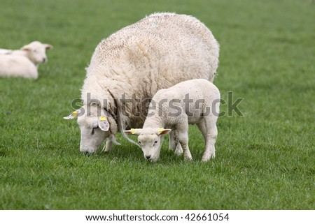 Mother sheep and lamb eating grass - stock photo