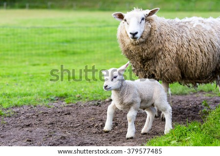 Mother sheep and newborn lamb in pasture during  springtime - stock photo
