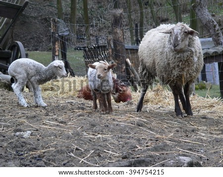 Mother sheep and two little lambs in a pen on a rural farm - stock photo