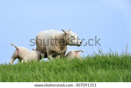 Mother sheep nursing two lambs on a hill - stock photo