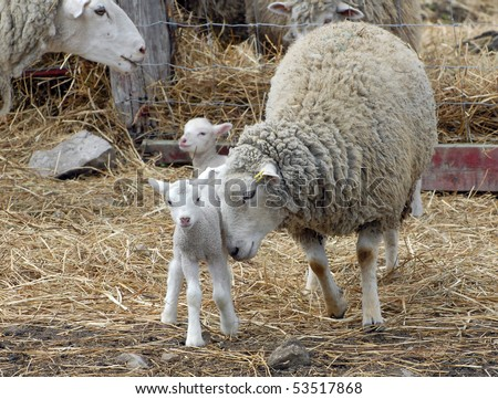 Mother sheep nuzzles baby lamb - stock photo