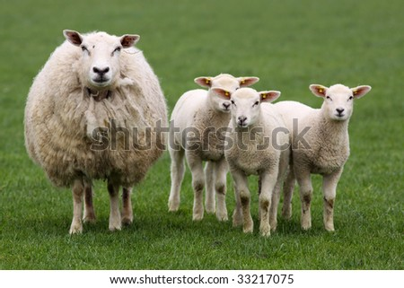Mother sheep with lambs - stock photo