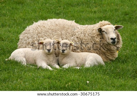 Mother sheep with two little lambs laying in the grass and looking at you - stock photo