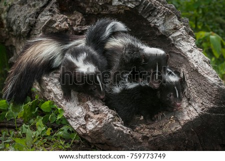 Mother Striped Skunk (Mephitis mephitis) and Kits - captive animals