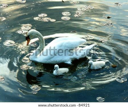 Mother Swan - stock photo