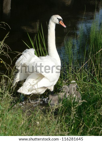 Mother swan with cygnets - stock photo
