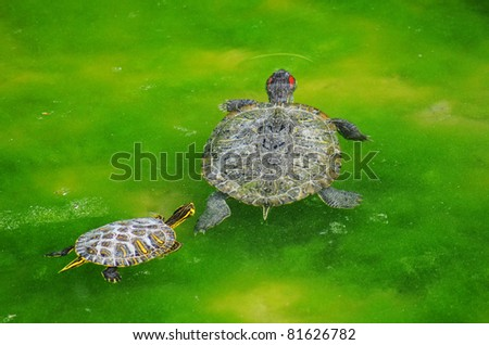 mother water turtle and son swimming in the marsh