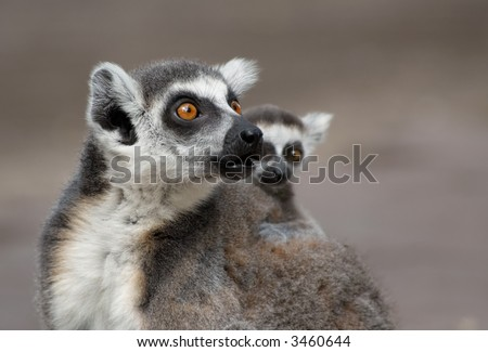 mother with cute baby ring tailed lemur - stock photo
