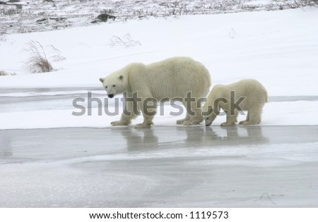 Mother with Polar Bear Cub at Churchill Manitoba - stock photo