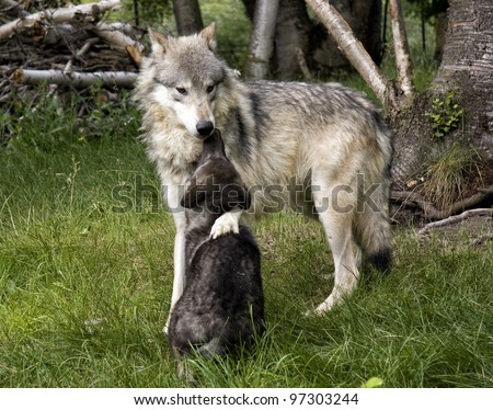 Mother Wolf and Black Wolf Pup - stock photo