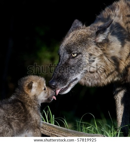 mother wolf greeting pup - stock photo