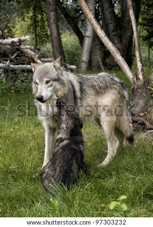 Mother wolf playing with black wolf pup - stock photo