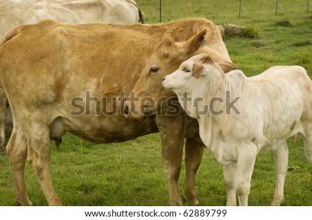 motherly love a baby spring calf adores its charolais mother cow - stock photo