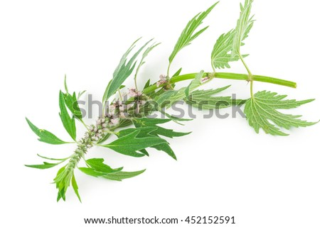 Motherwort  - stock photo