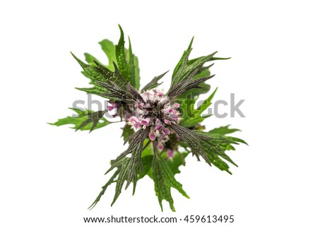 Motherwort close-up on white background upper view - stock photo