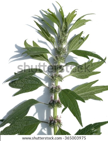 motherwort; Leonurus; cardiaca - stock photo