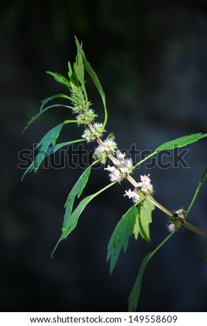 Motherwort (Leonurus cardiaca) over dark background - stock photo