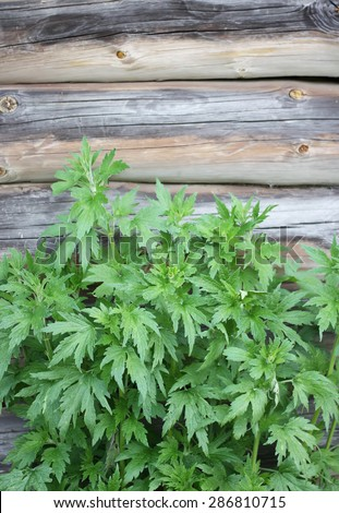Motherwort (Leonurus quinquelobatus). - stock photo