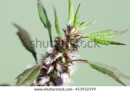 Motherwort plant over green background,close up shot - stock photo
