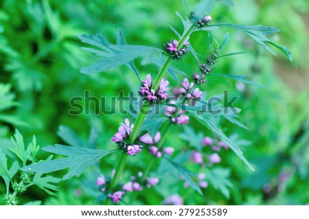 motherwort plants  - stock photo