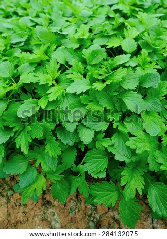 motherwort plants in growth at vegetable garden - stock photo