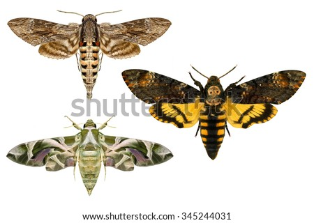 Moths.Sphingidae family(Lepidoptera) species.Daphnis nerii -oleander hawk-moth or army green moth,Convolvulus Hawk moth -Agrius convolvuli,Death's head Hawk moth -Acherontia atropos.Isolated on white  - stock photo