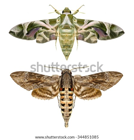 Moths. Two different species of Sphingidae family (Lepidoptera) - Daphnis nerii (oleander hawk-moth or army green moth) and Convolvulus Hawk moth (Agrius convolvuli). Isolated on a white background - stock photo