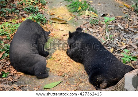 Motion of Asian black bear, asiatic black bear, Tibetan black bear,Himalayan black bear or moon bear relax at forest in Luang Prabang, Laos