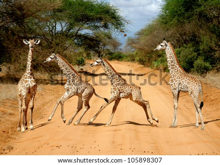 motion study of a baby giraffe (Giraffa camelopardalis) on the Tsavo East National Reserve safari in Kenya
