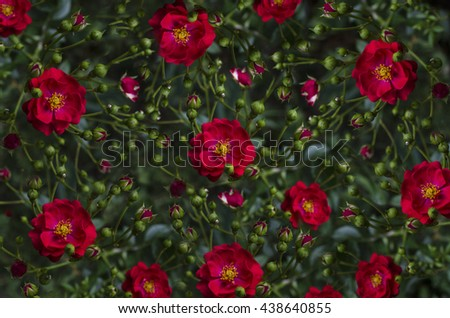Motley background of disorderly situated buds and red rose - stock photo