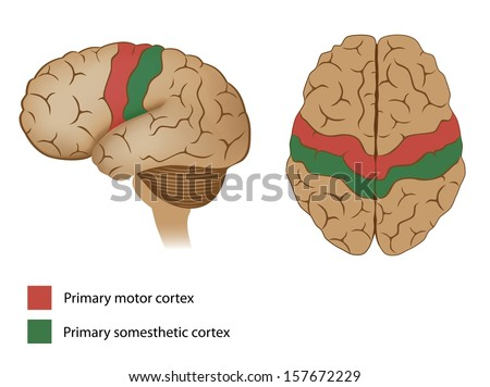Motor and sensory areas of the brain - stock photo