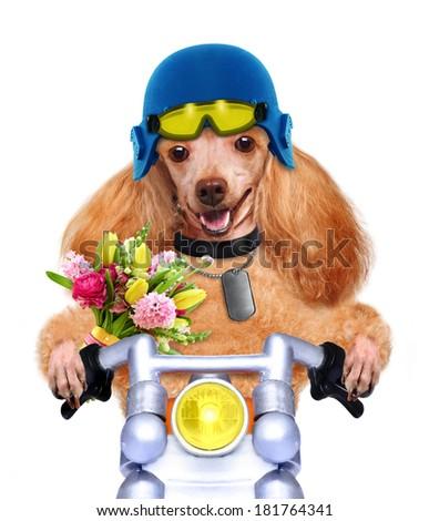 motorcycle dog  - stock photo