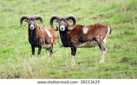 moufflon - stock photo