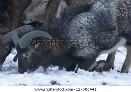 Mouflon - stock photo