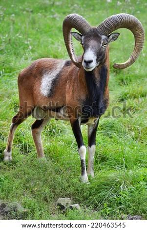 Mouflon in natural environment. - stock photo