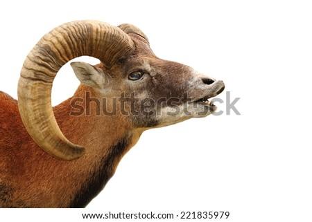 mouflon portrait showing mating ritual on white backgroud - stock photo