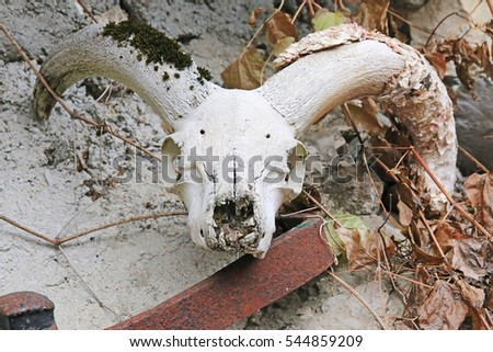 Mouflon skull, The ravine of Rabou, near Gap, Haute-Alpes, France.