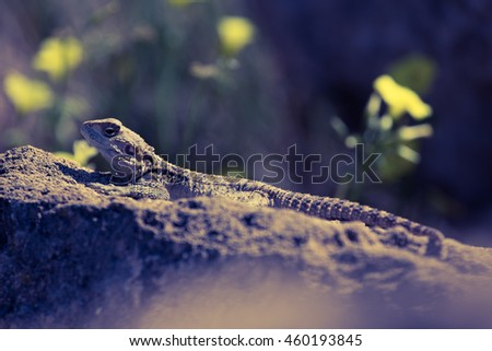 Mountain agama (Laudakia stellio) basking on a rock on the natural green blur background. Toned.