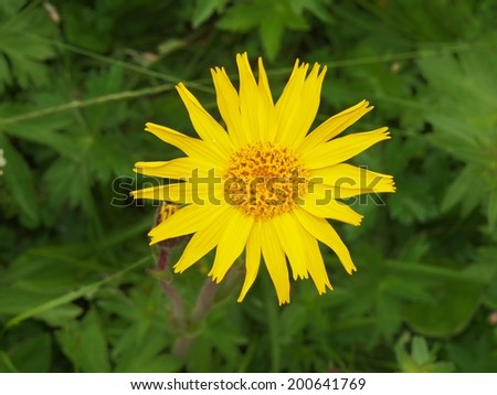 Mountain arnica flower (Arnica montana) - stock photo