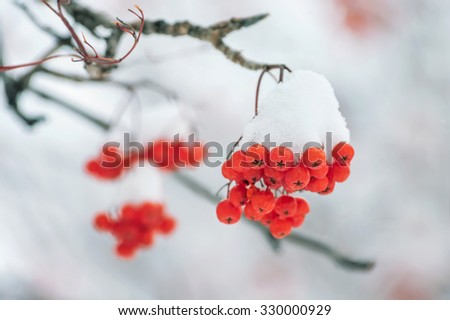 Mountain ash clusters in snow - stock photo